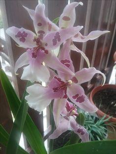 Orchid Odontoglossum Cambria