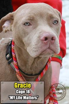 "ADOPTED - GRACIE ""18 Gracie"" - URGENT - Stark County Dog Warden in Canyon, Ohio - ADOPT OR FOSTER - Young Female Pit Bull Terrier - Available January 3, 2017"