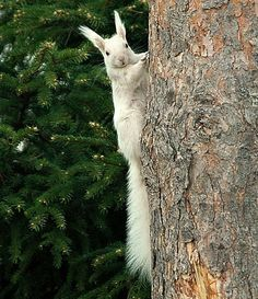 Albiino-orava what is this majestic squirrel... i need one