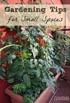 Growing Tomatoes Tips Tomatoes can be grown in containers in a sunny location on a porch, deck, balcony or patio. Smaller varieties of tomato plants are ideal for container gardens. Tips For Growing Tomatoes, Growing Tomato Plants, Easy Plants To Grow, Growing Tomatoes In Containers, Grow Tomatoes, Organic Gardening, Gardening Tips, Urban Gardening, Varieties Of Tomatoes