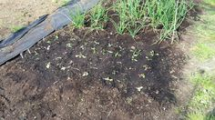 Planted some salad out hope it will be ok. #GrowYourOwn #allotment #gardening