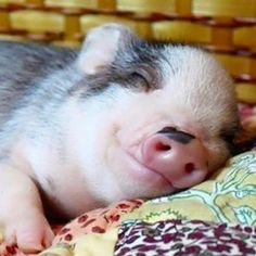 Miniature Pet Pigs – Why Are They Such Popular Pets? – Pets and Animals Cute Baby Animals, Animals And Pets, Funny Animals, Farm Animals, Baby Pigs, Pet Pigs, Miniature Pigs, Cute Piglets, Teacup Pigs