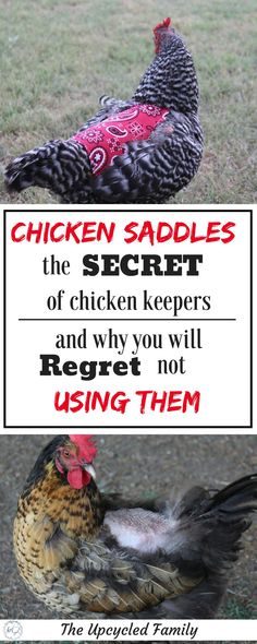 Beautiful hens with roughed up, broken, and missing feathers? The chicken saddle or hen apron is the easy DIY answer. Chicken Feed, Chicken Runs, Diy Chicken Coop, Chicken Treats, Chicken Facts, Chicken Scratch, Keeping Chickens, Raising Chickens, Pet Chickens