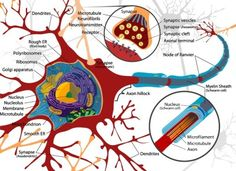 Diagram of a neuron.  The average human brain has 100 billion neurons. A place to store ALL the bits of info.