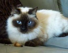 Zsa Zsa is an adoptable Siamese Ragdoll mix Cat in League City, TX. Gorgeous 6 month old female Siamese/Rag Doll mix kitty. She loves people and other kitties! Adoptions are held on Saturdays from 11 a.m. to 4 p at the Petco on Bay Area Boulevard (at Space Center.)