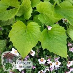 """NEW for 2017! Complete your combination containers, hanging baskets or your garden border with the bright green color of this annual. Sweet Caroline Bewitched Green With Envy™ is an excellent spiller and will make your friends and neighbors """"green with envy"""" when they see what you created with your annual combinations on your porches or decks. You will love the serrated edges of these heart shaped leaves."""