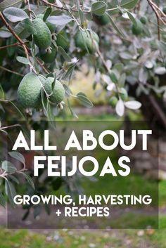 All About Feijoas - growing, harvesting + recipes - Milkwood Fejoa Recipes, Guava Recipes, Recipies, Fruit Recipes, Pineapple Guava Tree, Pineapple Planting, Veg Garden, Edible Garden, Forest Garden