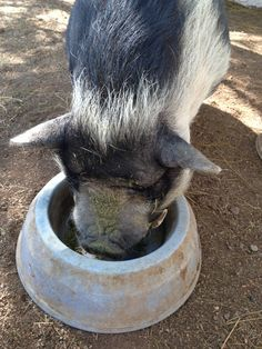 Pot-bellied pigs 2% of body weight over the course of a day