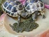 Les tortues Alimentation