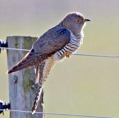 De koekoek is de enige vogel in Europa gekend als broedparasiet. De Europese koekoek - Cuculus canorus