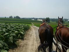 Horses walking down tobacco road* this is how daddy did it as a boy