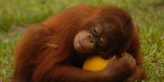In Indonesia c'è la casa degli oranghi rimasti orfani a causa degli incendi e della distruzione delle foreste pluviali