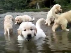 Fluffy Puppies Swim for the Very First Time - and It's So Precious! ~~ Click on photo to see video.