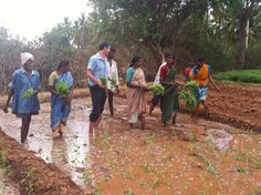 Here the Kollegal farmers and Seth Goldman, President & TeaEO of Honest Tea, continue planting Tulsi seedling in soaked soil.