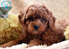 This super adorable Toy Poodle puppy is well socialized and very sweet. She is the all around perfect pup and will win you over with her good looks. Red Poodle Puppy, Tiny Toy Poodle, Toy Poodle Puppies, Corgi Puppies, Poodle Hair, Toy Puppies For Sale, Toy Poodles For Sale, Red Poodles, French Poodles