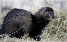 Black Angora Ferret, I get to see these guys every week! <3 them!!!!! @ Oregon Ferret Shelter.