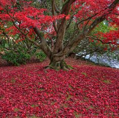 Red Acer - Autumn - To see more of my work, please visit: stephenstringerphotography.co.uk Taken in The National Trust Garden of Sheffield Park in Sussex, England.