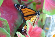 The stages of birth - #butterflies   #chrysila