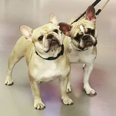 Dog stalking: Nutella & Avelã.  Follow their adventures at @isoraia  #dogstalking #dogsofinstagram #instadogs #dogsoflisbon #frenchie #frenchbulldog #cutedogs