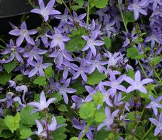 "A floriferous, semi-evergreen groundcover drenched with 1"", lavender-blue, star-shaped flowers off and on from late Spring thru Fall. Growing less than a foot tall and spreading steadily over time to fill any allotted space, this extremely rewarding, low-maintenance ""Bellflower"" is perfect for planting at the base of trees, edging a rock garden or filling out a pot or hanging basket. Evergreen in mild Winter areas – it should be cut to the base occasionally to refresh. Enjoys full sun along…"