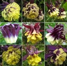 UK, Touchwood Seed List, Unusual, Rare and Cottage Garden seeds. Aquilegia specialist