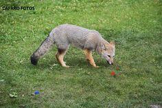Zorro gris salvaje. Ushuaia Ushuaia, Fox, Gray, Animales, Foxes, Red Fox
