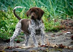 German Short-hair pointer pup
