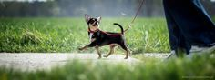 Training. Chihuahua, Training, Dogs, Cute, Animals, Animales, Animaux, Pet Dogs, Kawaii