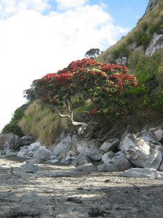 101 Best Pohutukawa New Zealand S Christmas Tree Images New