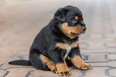 Puppy Rotteweiler