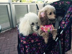 Fifi and Gigi out for the morning in Palm Beach - smiling as they greet their public