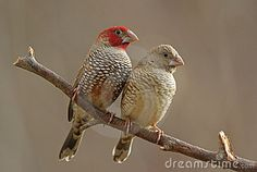 Red-headed Finches Stock Photo - Image: 7769300