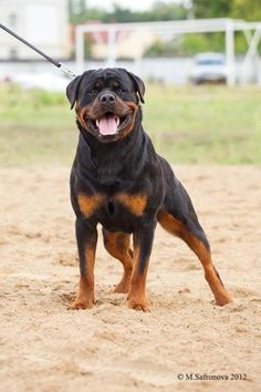How could someone not fall in love with a dog like this one? #Rottweiler #Favorite