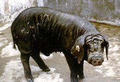 Breeds of Livestock - Fengjing Swine — Breeds of Livestock, Department of Animal Science