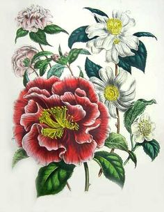 A Victorian guide to early camellia imports from the East  From Jane Loudon, 1807-1858,  The ladies' flower-garden of ornamental greenhouse plants. 2nd edition.  London: W. S. Orr, [1849].