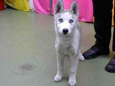 Pictures of URGENT 12/27 @ DEVORE a Husky for adoption in San Bernardino, CA who needs a loving home.