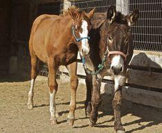 Elans Playboy, Smart Chic Olena, Donkey, Halter breaking, Hagerman Idaho, TS Quarter Horses, billingsley Creek Ranch