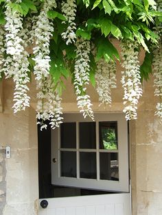 Our white Wisteria hanging above the front door