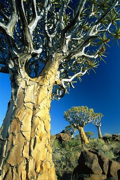 Quivertrees Kokerbooms in the Quivertree Forest Kokerboowoud near Keetmanshoop Namibia Africa Local Caption