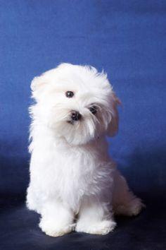 What a cute maltese : )