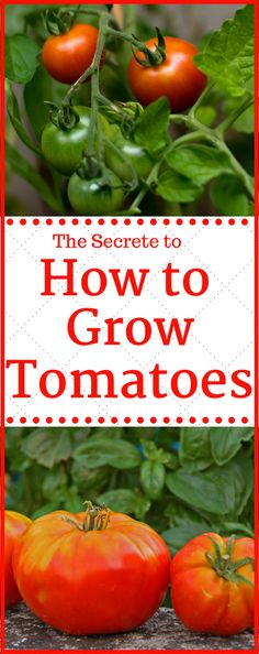 HOW TO GROW TOMATOES. The secrete is out to growing tomatoes. Learn how to grow more tomatoes than you have every grown before.
