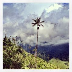 Palma de Cera, el arbol nacional de Colombia. Foto gracias a http://instagram.com/sir_coveth