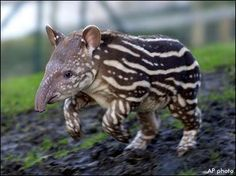 Tapir - http://mcrawford76.hubpages.com/hub/25-Most-Amazing-and-Unique-Animals-On-Earth