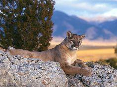 Puma americká