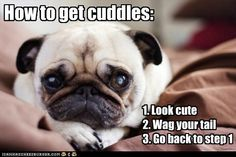 funny dog pictures - I Has A Hotdog: How to get cuddles