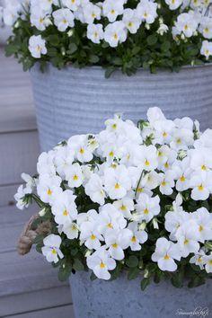 Garden Works, Moon Garden, White Gardens, Shade Garden, Pansies, Beautiful Gardens, Container Gardening, White Flowers, Outdoor Gardens