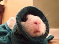 Pig in a hoodie! lucyandhyde:  My guinea pig decided to go into my jacket sleeve