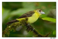Female Yellow-rumped Tanager(Ramphocelus flammigerus) photographed by Glenn Bartley in Ecuador