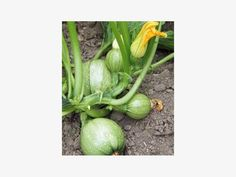 'Tondo Chiaro di Nizza' Zucchini, Celery, Vegetables, Garden, Lovers, Nice, Fruits And Veggies, Plants, Flowers