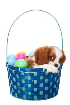 Cavalier King Charles Spaniel Puppy in Easter Basket King Charles Dog, King Charles Spaniel, Cavalier King Charles, Animals And Pets, Cute Animals, Baby Animals, Spaniel Dog, Spaniels, Cavalier Rescue